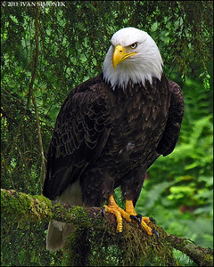 """CONFIDENCE"",Bald eagle,Anan,Alaska,USA."