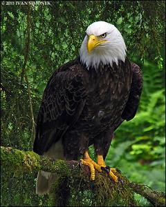 """""""CONFIDENCE"""",Bald eagle,Anan,Alaska,USA."""
