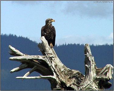 """A GOOD VIEW"", bald eagle, Sergief island, Alaska, USA-----""DOBRY ROZHLED"", belohlavy orel."
