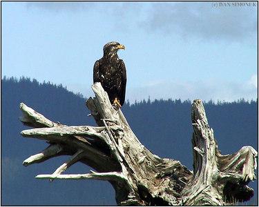 """""""A GOOD VIEW"""", bald eagle, Sergief island, Alaska, USA-----""""DOBRY ROZHLED"""", belohlavy orel."""