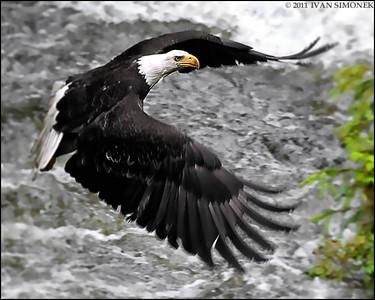"""""""HITTING THE BRAKES"""",a Bald eagle,Anan creek,Alaska,USA."""
