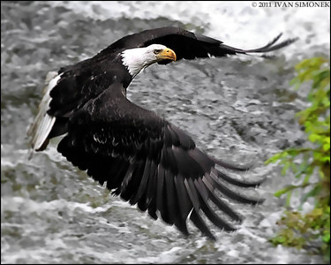 """HITTING THE BRAKES"",a Bald eagle,Anan creek,Alaska,USA."