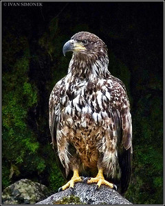 """""""YOUNG AND RESTING"""",a Bald eagle,Anan creek,Alaska,USA."""