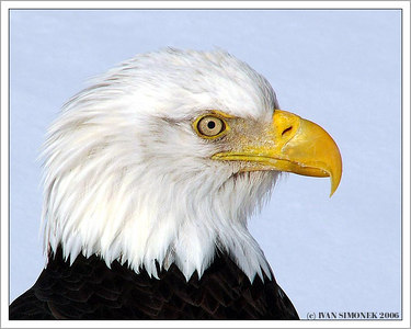"""KING`S  PROFILE"", a bald eagle, Wrangell, Alaska, USA-----""PROFIL KRALE"", orel belohlavy, Aljaska, USA."