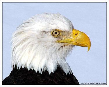 """KING`S  PROFILE"", a bald eagle, Wrangell, Alaska, USA-----""PROFIL KRALE"", orel belohlavy, Aljaska, USA."