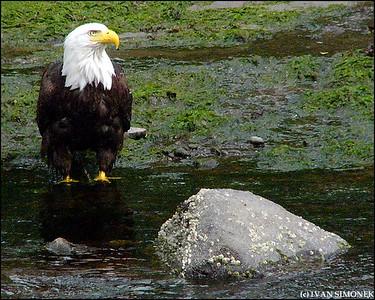 """IT FEELS GOOD"",a Bald eagle,Petersburg,Alaska,USA."