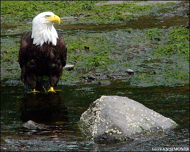 """IT FEELS GOOD"",a Bald eagle,Petersburg,Alaska,USA."