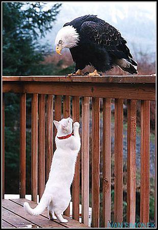 """""""OH MY, WHAT A TWEETY BIRD!"""", one silly and very lucky cat walked away from this encounter of the last kind. Wrangell, Alaska,USA. -----""""JEJE, TO JE ALE KANAREK!"""",posetila a velmi stastna kocka prezila toto setkani bez  ujmy na zdravi. Wrangell, Aljaska, USA."""