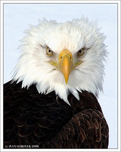 """WINDY DAY"", a bald eagle, Wrangell, Alaska, USA-----""ROZCUCHAN"", orel belohlavy, Wrangell, Aljaska, USA."