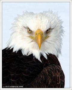 """WINDY DAY"", a bald eagle, Wrangell, Alaska, USA-----""ROZCUCHAN"", orel belohlavy, Wrangell, Aljaska, USA."