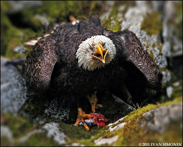 """ANGRY"",a Bald eagle,Anan,Alaska,USA."