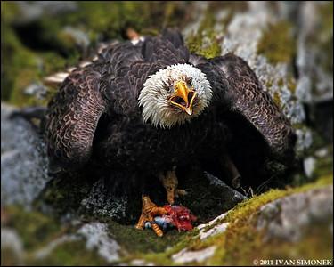 """""""ANGRY"""",a Bald eagle,Anan,Alaska,USA."""