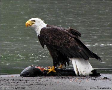 """""""BIG CATCH"""", a Bald eagle eating a King salmon,Stikine river,Alaska,USA."""