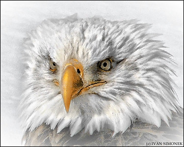 """THE LOOK"",a Bald eagle,Wrangell,Alaska,USA."