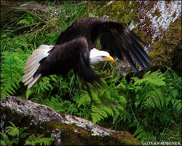 """LOW FLYER"",a Bald eagle,Anan Creek,Alaska,USA."