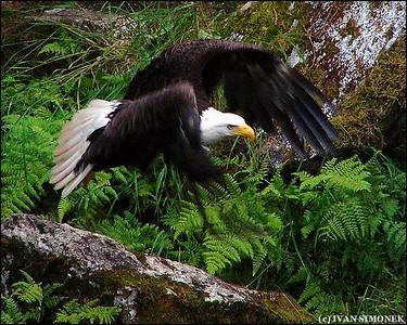 """LOW FLYER"",a Bald eagle,Anan Creek,Alaska,USA."