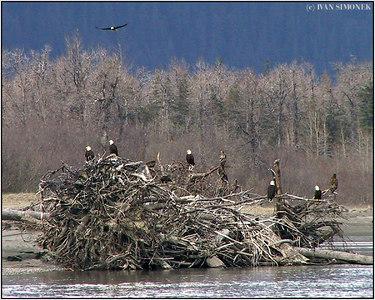 """RESTING PLACE"", bald eagles, Stikine river, Alaska, USA------""MISTO K ODPOCINKU"", belohlavi orli, reka Stikine."
