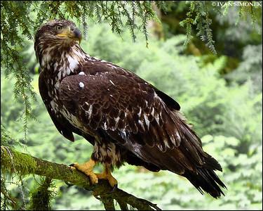 """""""PAYING ATTENTION"""",young Bald eagle,Anan Creek,Alaska,USA."""