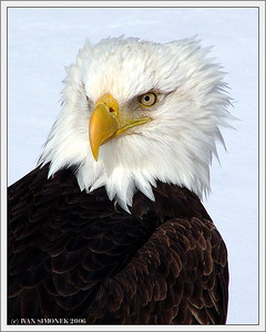 """HANDSOME"", a bald eagle, Wrangell, Alaska, USA-----""KRASAVEC"", orel belohlavy, Wrangell, Aljaska, USA."
