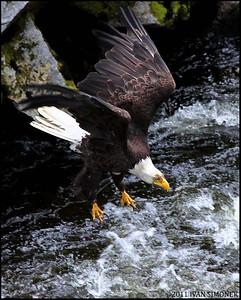 """IN A DIVE"",a Bald eagle,Anan creek,Alaska,USA."