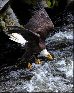 """IN A DIVE"",a Bald eagle,Anan creek,Alaska,USA."