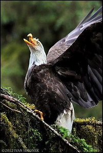 """Mr.UGLY 5"",a Bald eagle,Anan,Alaska,USA."