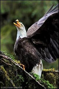 """""""Mr.UGLY 5"""",a Bald eagle,Anan,Alaska,USA."""