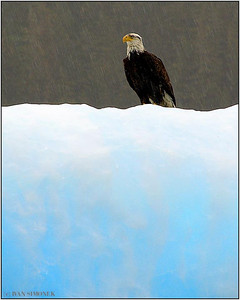"""COLD FEET 1"", a bald eagle, LeConte Bay, Alaska, USA."