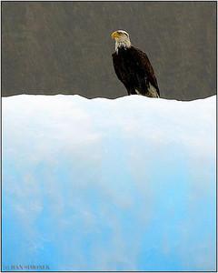 """""""COLD FEET 1"""", a bald eagle, LeConte Bay, Alaska, USA."""