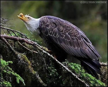 """""""Mr.UGLY 4"""",a Bald eagle,Anan,Alaska,USA."""