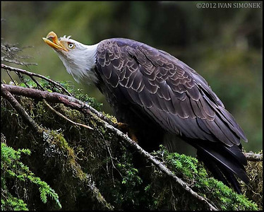 """Mr.UGLY 4"",a Bald eagle,Anan,Alaska,USA."