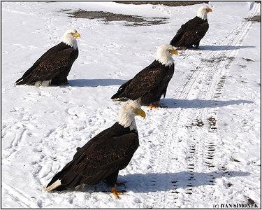 """HITCHHIKERS"", bald eagles, Wrangell, Alaska, USA-----""STOPARI""."