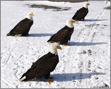 """HITCHHIKERS"", bald eagles, Wrangell, Alaska, USA-----""STOPARI""."