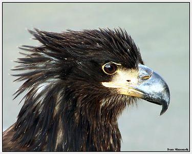 """YOUNGSTER"", a bald eagle, Wrangell, Alaska, USA.-----""MLADISTVY"",  mlady orel belohlavy, Wrangell, Aljaska, USA."