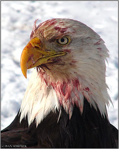"""PORTRAIT OF A KILLER"", a bald eagle, Wrangell, Alaska, USA-----""PORTRET ZABIJAKA""."