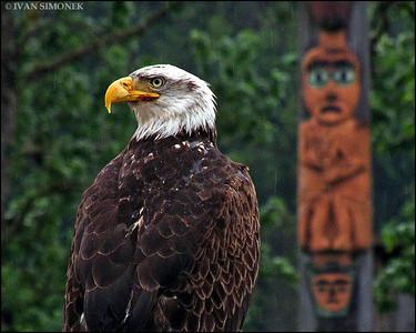 """""""WATCHED"""",a Bald eagle and Eagle totem,Shakes island,Wrangell,Alaska,USA."""