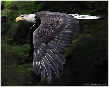 """EASY FLYER"",a Bald eagle,Anan,Alaska,USA."