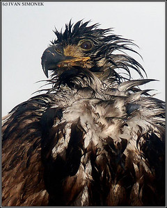 """A BAD FEATHERS DAY"",a wet young Bald eagle,Wrangell,Alaska,USA."