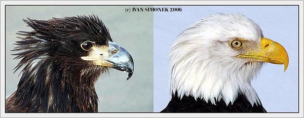 """METAMORPHOSIS"",young bald eagle turning into adult, Wrangell, Alaska, USA-----""METAMORFOZA"", mlady orel belohlavy menici se v dospeleho."