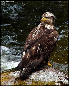 """YES I CAN...."", an immature bald eagle, Anan creek, Alaska, USA.-----""ANO,MOHU...."", mlady orel belohlavy, Anan creek, Aljaska, USA."