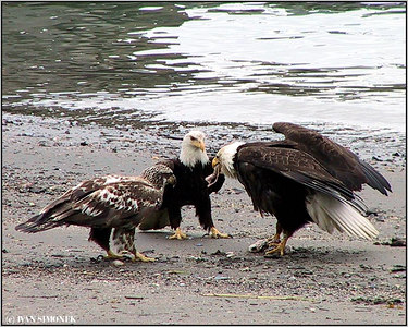 """SELFISH"", bald eagles, Wrangell, Alaska, USA-----""SOBEC"", belohlavi orli."