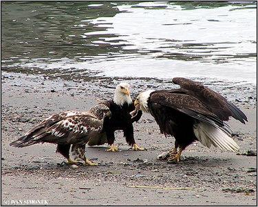 """SELFISH"", bald eagles, Wrangell, Alaska, USA-----""SOBEC"", belohlavi orli."