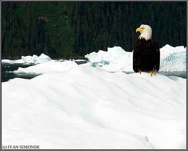 """COLD FEET 2"",a Bald eagle on an iceberg,LeConte Bay,Alaska,USA."
