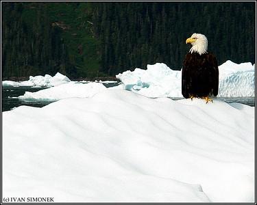 """COLD FEET 2"",a Bald eagle on an iceberg,LeConte Bay,Alaska,USA."