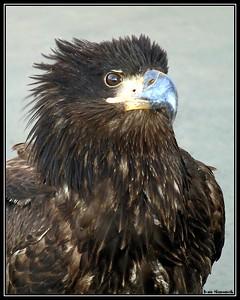 """YOUNG AND CURIOUS"",an immature bald eagle, Wrangell, Alaska, USA.-----""MLADY A ZVEDAVY"", nedospely orel belohlavy,Wrangell, Aljaska, USA."