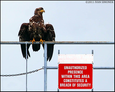 """SECURITY GUARD"",young Bald eagle,Wrangell,Alaska,USA."