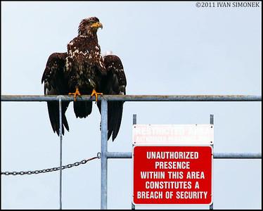 """SECURITY GUARD"",young Bald eagle,Wrangell,Alaska,USA."