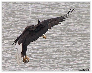"""I BRAKE FOR FISH"", a bald eagle, Wrangell, Alaska, USA.-----""BRZDICI OREL BELOHLAVY"", Wrangell, Aljaska, USA."