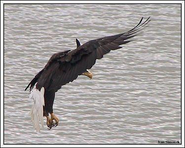 """I BRAKE FOR FISH"", a bald eagle, Wrangell, Alaska, USA.-----""BRZDICI OREL BELOHLAVY"", Wrangell, Aljaska, USA."