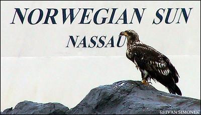 """IMPORTED SUN/DOMESTIC EAGLE"",a young Bald eagle behind a cruise ship,Wrangell,Alaska,USA."